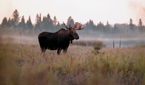 In North America the moose is the largest member of the deer family. Four animals were introduced to Newfoundland, and in a short time population exploded