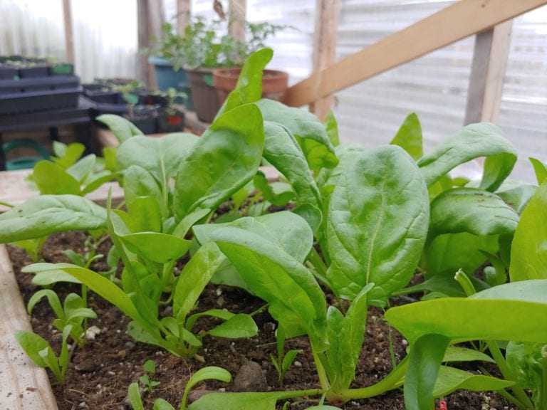 Growing Spinach in Newfoundland